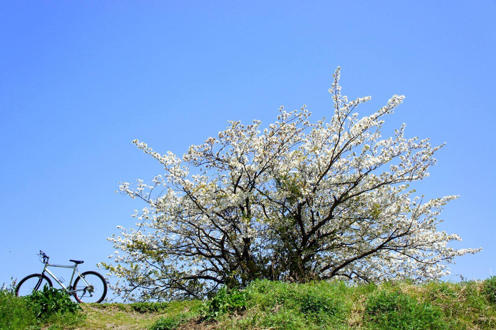 三重県津市の桜